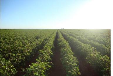 730 2 385x258 - Finca de regadío de 55 hectáreas en Carmona