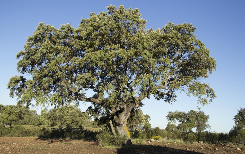 IMG 9894 1170x738 - Finca de 17 hectáreas de alcornoque y encinas en zona Cañaveral (Cáceres)