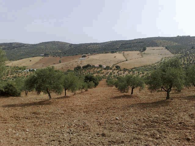 469 OPP Fincas Rústicas SurOeste 2 - Finca de 16 has de olivar de secano con casa nueva en la zona de Azuaga