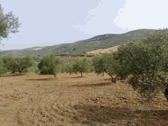 469 OPP Fincas Rústicas SurOeste 3 - Finca de 16 has de olivar de secano con casa nueva en la zona de Azuaga
